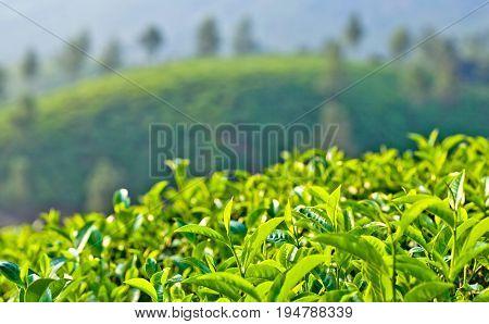 Green tea trees at plantation in Munnar, Kerala, South India