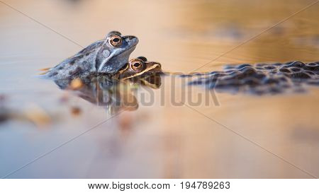 Mating moor frogs in the water next to spawn