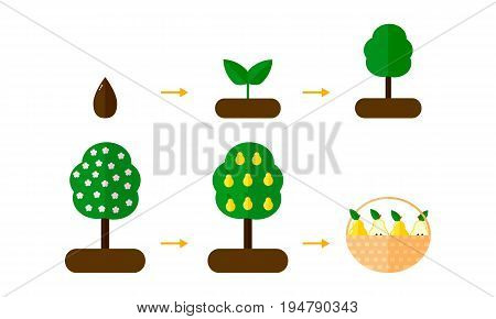 Vector Illustration. Growth Stages Of Pear Trees. Blooming Tree.