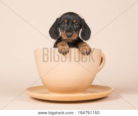 Cute black and tan dachshund in a creme cup and saucer on a creme background