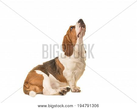 Adult basset hound sitting seen from the side looking up isolated on a white background