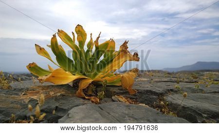 Lonely yellow-green plant despite the dry and windy weather increases on top of the mountain on the rocks. Gramvousa island in Greece