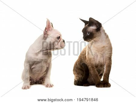 Cat devon rex and puppy dog french bulldog looking at each other on a white background