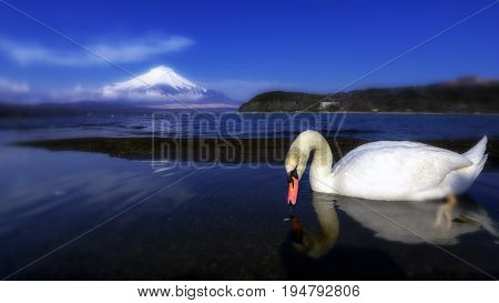 White Swan of Lake Yamanaka with Mt. Fuji background at Yamanashi, Japan. Lake Yamanaka is a point of view Mount Fuji is very popular for photographers and tourists.