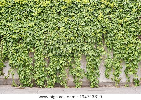 Green creeper plant covering all stucco wall