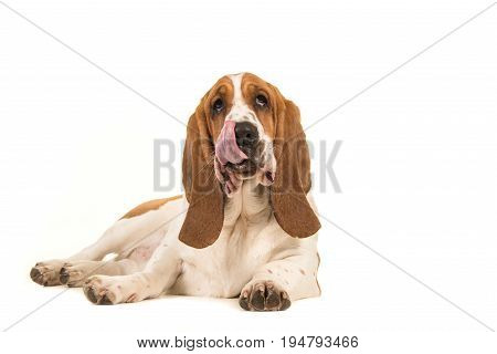Basset hound lying on the floor facing the camera with its tongue out of its mouth licking its mouth isolated on a white background