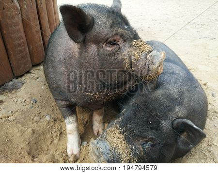 two small black pigs at farm