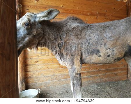 The picked up sick elk nurses at home