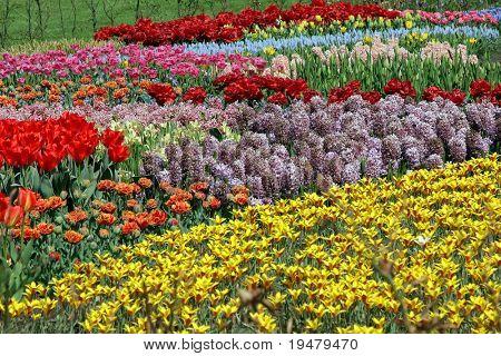 Multicolored flower bed in Keukenhof gardens, Holland