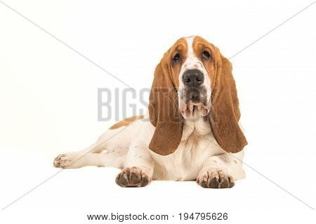 Young basset hound lying down facing the camera seen from the side isolated on a white background