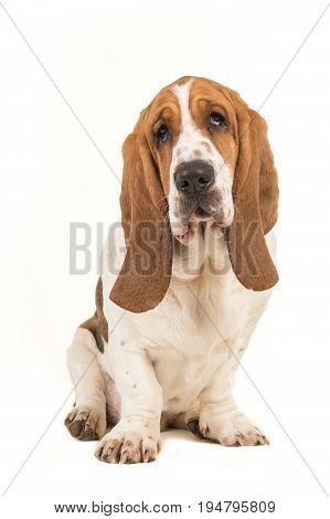 Cute young adult basset hound sitting and facing the camera isolated on a white background