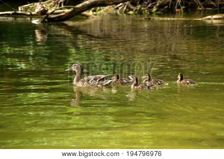 Duck family with ducklings swimming on lake
