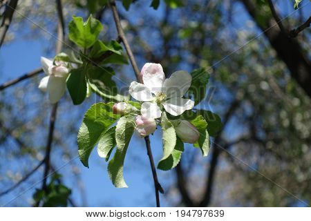 White With A Pink Tinge Five Petaled Apple Flower