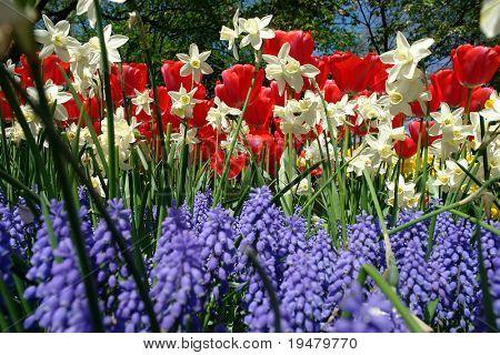 Spring flowers in Keukenhof gardens, the Netherlands