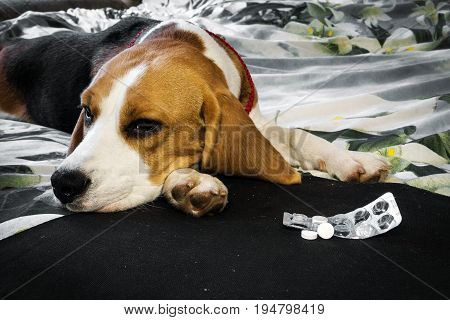 Own sick dog beagle with sad eyes before packing tablets.