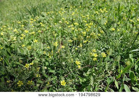 Flowering Bur Buttercup Plants In Mid Spring