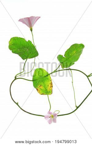 Bindweed (Convolvulus arvensis) - flowering plant isolated against white background