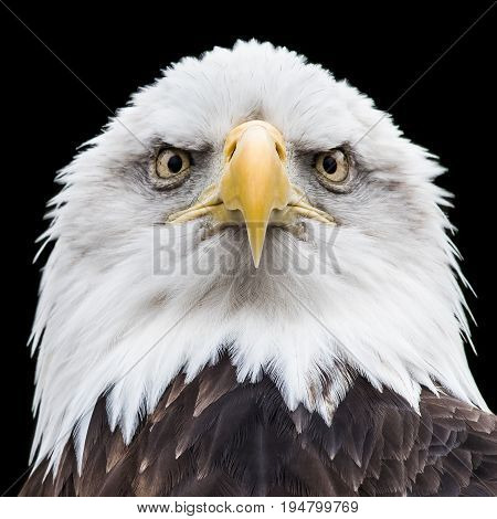 Frontal Portrait of an Intimidating Bald Eagle Against a Black Background