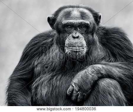 Black and White Frontal Portrait of an Alpha Male Chimpanzee