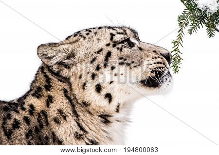 Profile Portrait of a Curious Snow Leopard Sniffing Pine Needles Against a White Background
