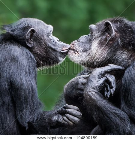 Profile Portrait of a Chimpanzee Pair Kissing Against a Green Background