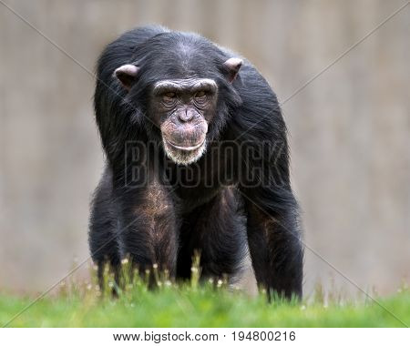Frontal Portrait of a Young Female Chimpanzee Against a Blurred Background