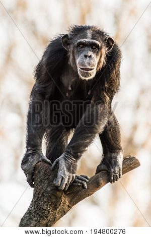 Frontal Portrait of Chimpanzee Standing on Branch