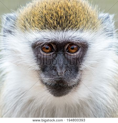 Frontal Closeup Portrait of Baby Grivet Monkey