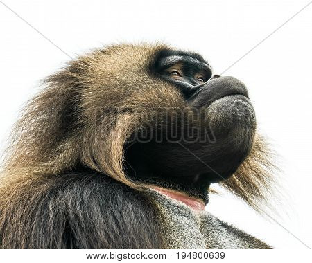 Profile Portrait of Gelada Baboon Against a White Background