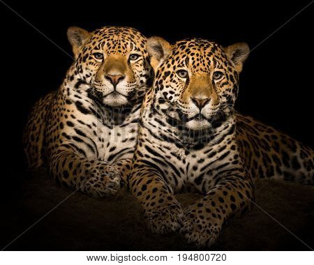 A Frontal Portrait of a Pair of Jaguar Siblings Sitting Together Against a Black Background