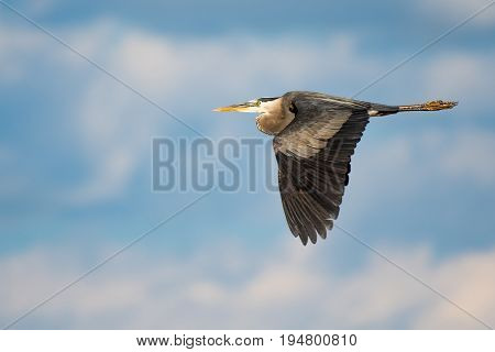 Great Blue Heron in Flight Against a Blue Sky and Clouds