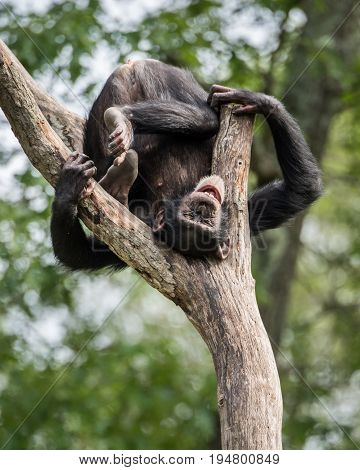 Frontal Portrait of a Young Smiling Chimpanzee Hanging Upside Down