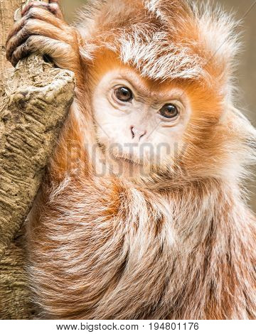 Frontal Portrait of an Ebony Langur Resting Against a Branch