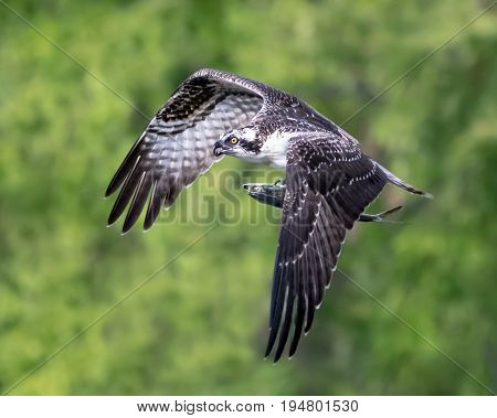 Osprey in Flight After Catching a Menhaden Fish