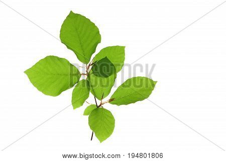 little twig with leaves of European beech (Fagus sylvatica) isolated against white background