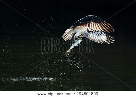 Osprey in Flight with Backlit Wings After Catching a Menhaden