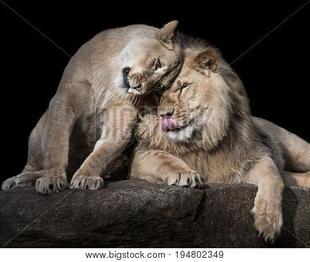 Frontal Portrait of Two Affectionate Lion Siblings