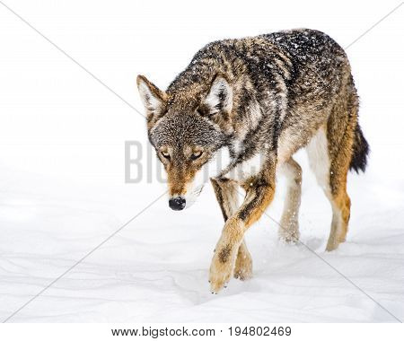 Female Red Wolf Walking in the Snow