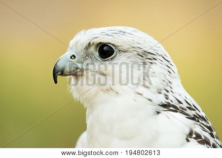 Profile Portrait of a Saker Falcon Against a Green and Yellow Background