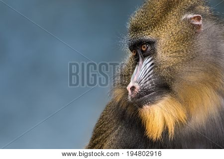 Profile Portrait of Mandrill Against a Blue Background