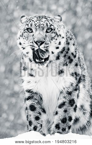 Frontal Portrait of a Snow Leopard Licking Its Teeth in a Snow Storm