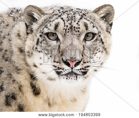 Frontal Portrait of Snow Leopard Against a White Background