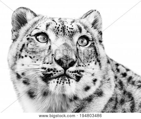 Three Quarter  Portrait of Snow Leopard in Snow