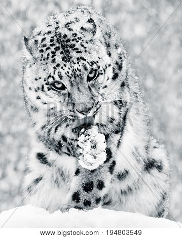 Frontal Portrait of a Snow Leopard in a Snow Storm Licking It's Paw Against a Mottled Gray Background