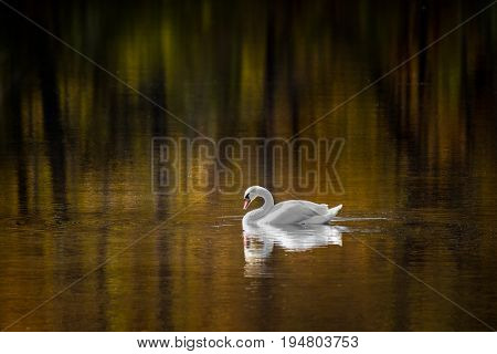Colorful Trees and a Mute Swan Reflected in a Pond in Fall