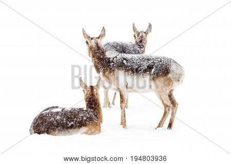 A Group of Three Pronghorns Resting in the Snow