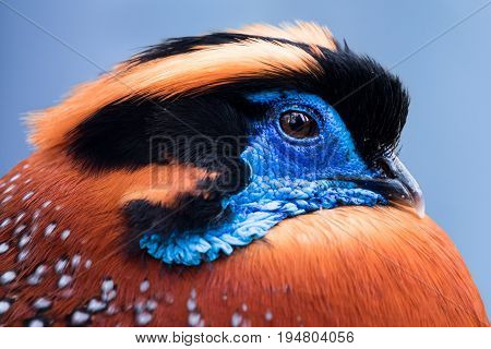 Profile Portrait of a Temminck's Tragopan Against  a Blue Background