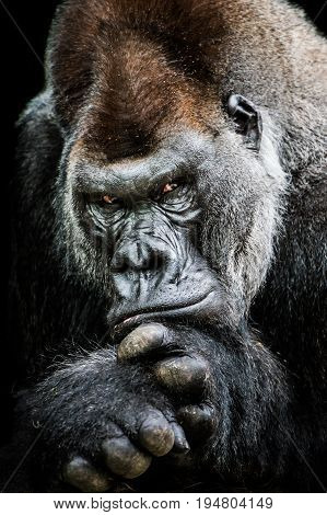 Frontal Portrait of Alpha Male Western Lowland Gorilla