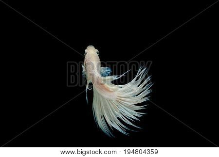 Crown tail fighting fish,siamese fighting fish isolated on black