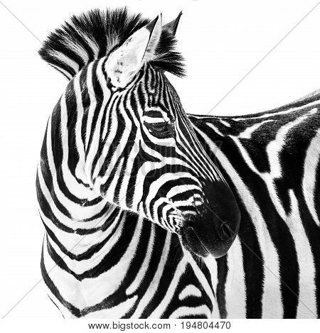 Profile Portrait of a Grant's Zebra Against a White Background